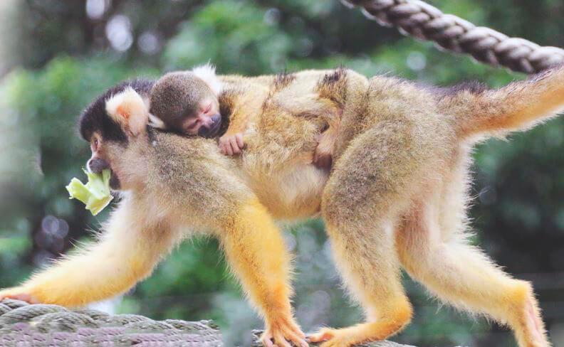 Самка беличьего саймири с детёнышем