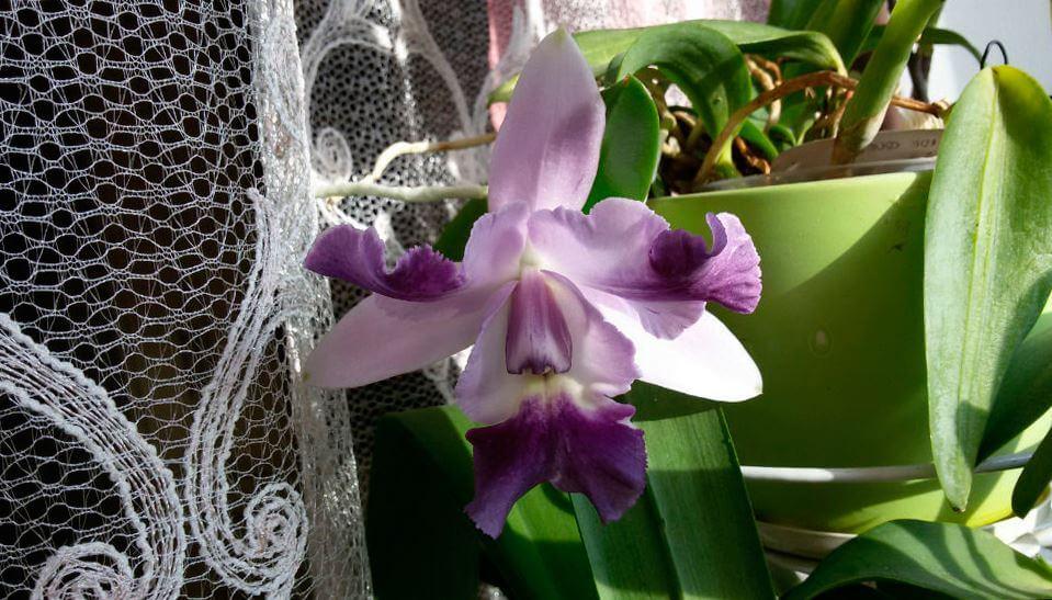 orhideya kattleya vozle okna Орхидея каттлея