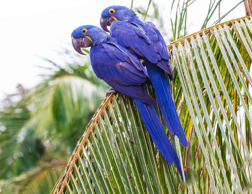 Пара гиацинтовых попугаев