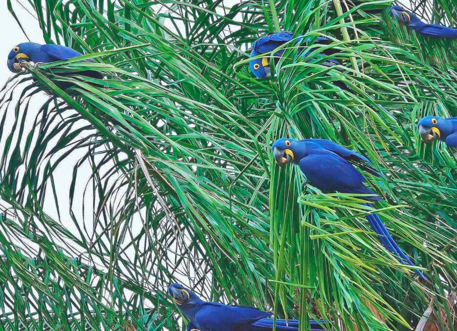 Стая гиацинтовах попугаев