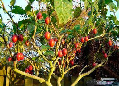 Cyphomandra betacea с плодами