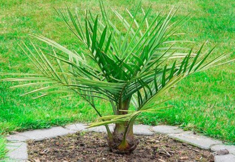 yubeya na gazone 1 Юбея, или слоновая пальма