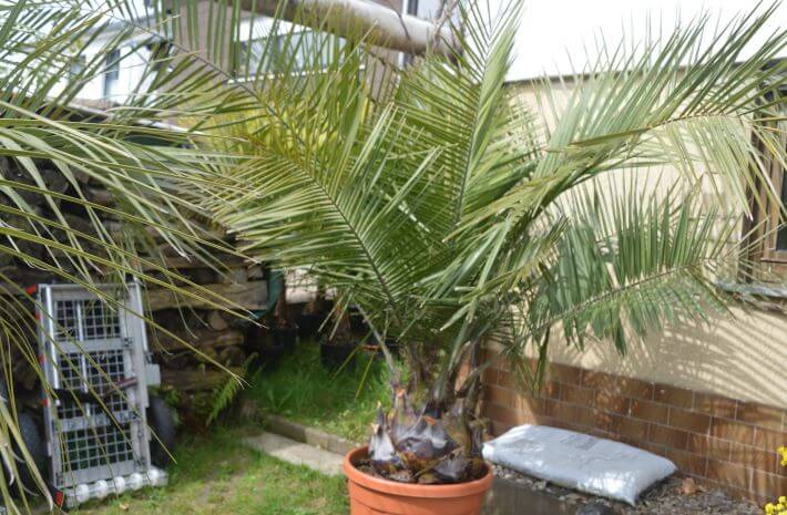 yubeya na gazone Юбея, или слоновая пальма