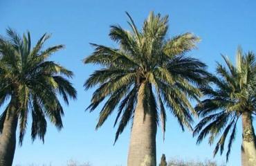 Юбея, или слоновая пальма
