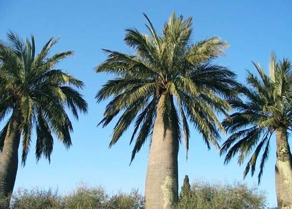 yubeya v estestvennyh usloviyah Юбея, или слоновая пальма