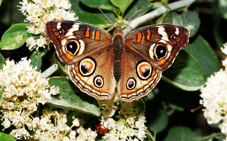 Бабочка Junonia coenia фото