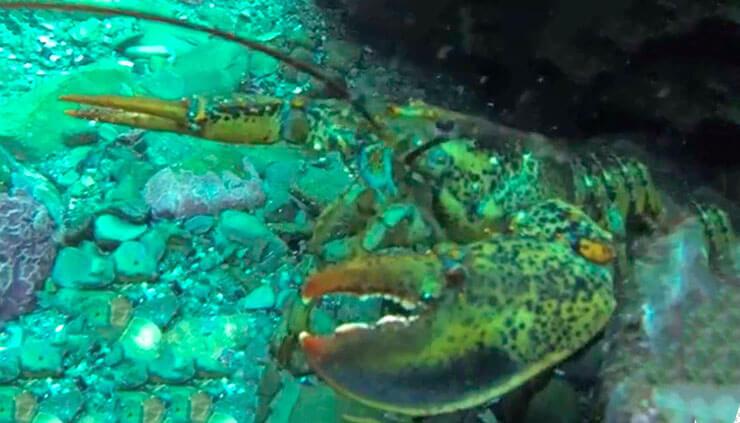 Фото американского омара