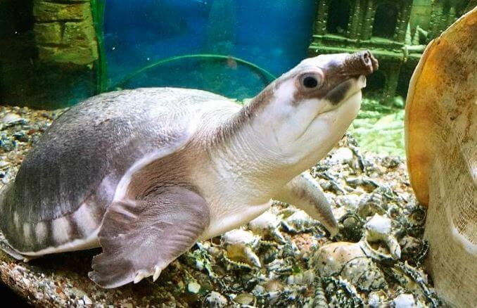 dvuhkogotnaya cherepaha Двухкоготная черепаха