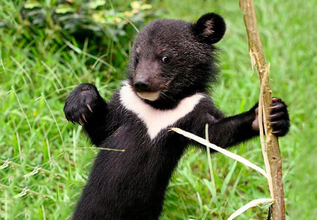 Детёныш гималайского медведя