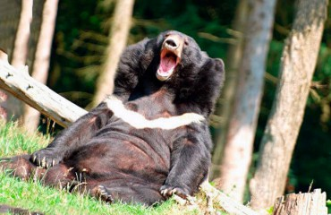Гімалайський ведмідь