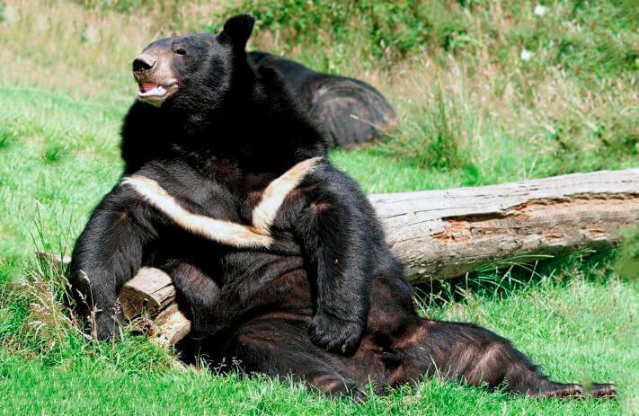 Гималайский медведь с поднятой лапой