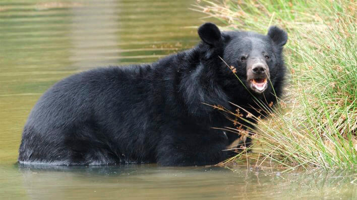 Купание гималайского медведя