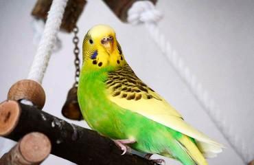 Как определить пол волнистого попугайчика