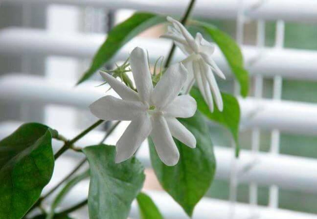 Выращивать жасмин необходимо в светлом месте