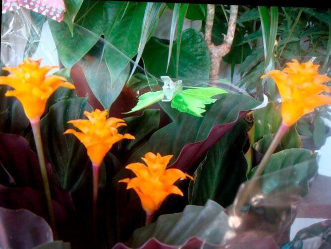 Calathea crocata с яркими цветами