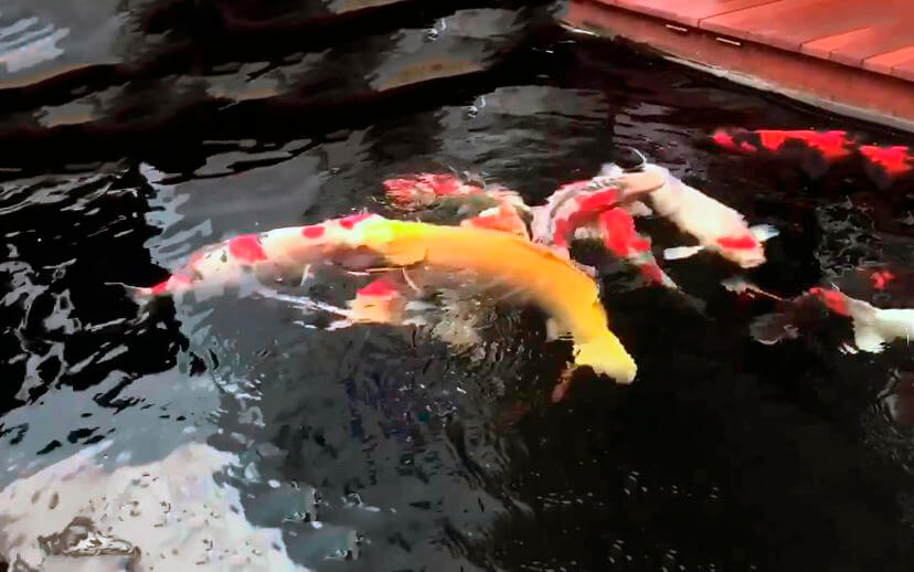 Карпы кои в бассейне