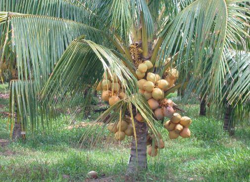 Плодоносящая кокосовая пальма фото