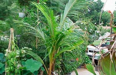 Кокосовая пальма. Размножение и уход в домашних условиях