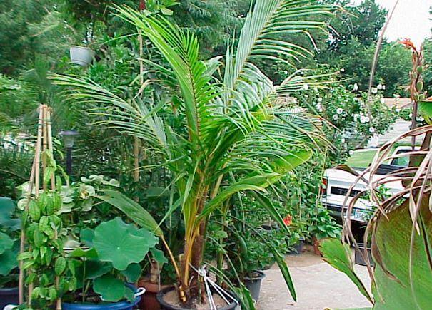 Взрослая Cocos nucifera