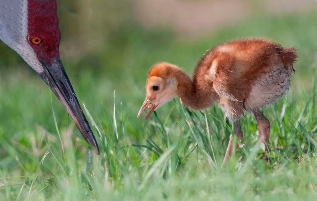 Кормление птенца канадским журавлём