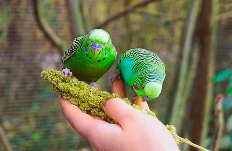 Кормление волнистых попугайчик ов