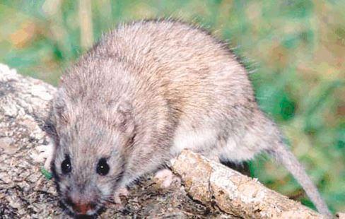 Крысовидный хомячок фото