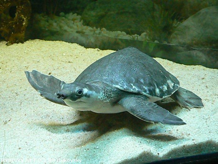 m111 Двухкоготная черепаха