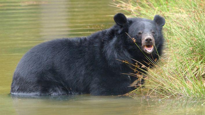 m33 Гималайский медведь