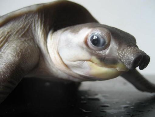 m37 Двухкоготная черепаха