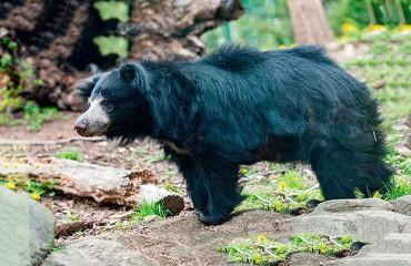 Ведмідь-губач