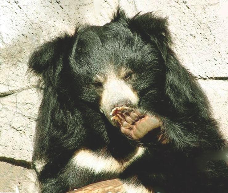 Медведь-губач фото
