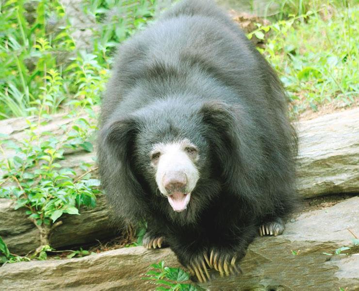 Картинка с медведем-губачом