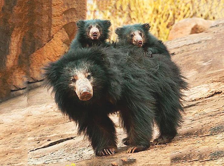 Самка медведя-губача