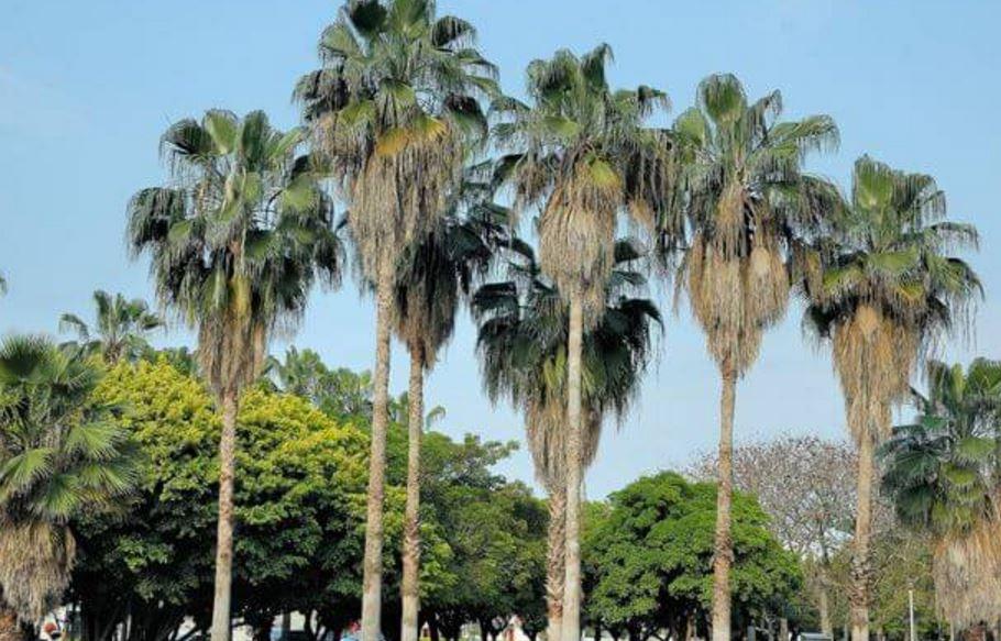 Пальма левистона в городских условиях