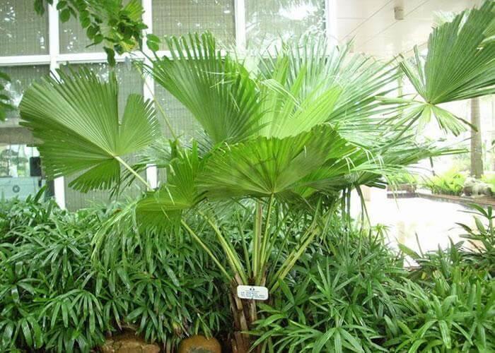 palma livistona v oranzhereee Пальма Ливистона