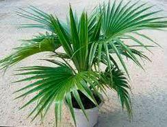 palma livistona Пальма Ливистона