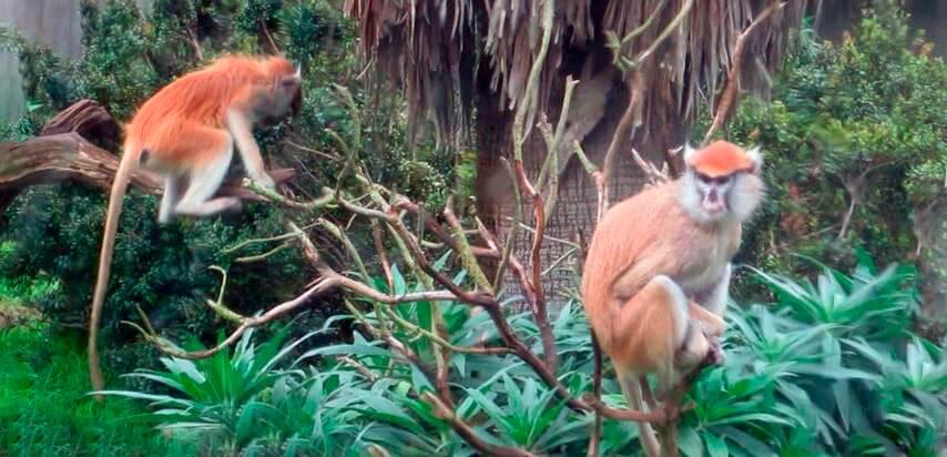 Отдых мартышек-гусар в тени деревьев