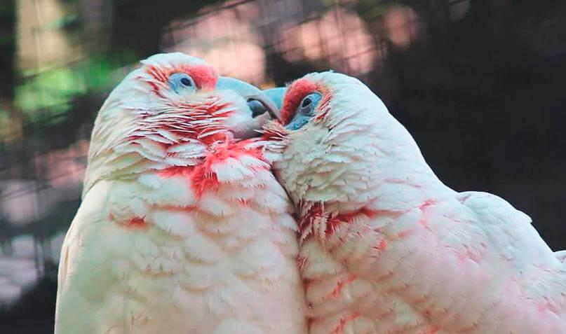 Нежность носатых какаду