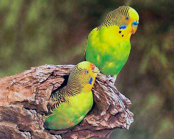 Волнистый попугайчик фото