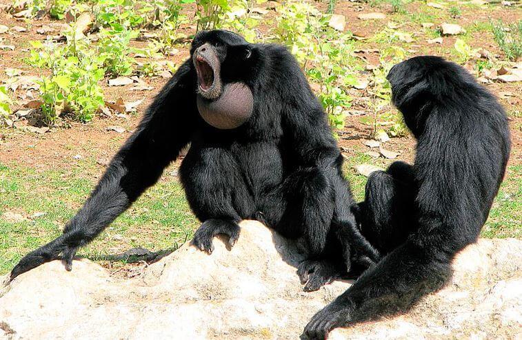 Поющий примат