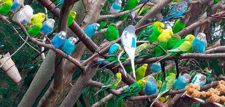 Волнистые попугайчики на ветке