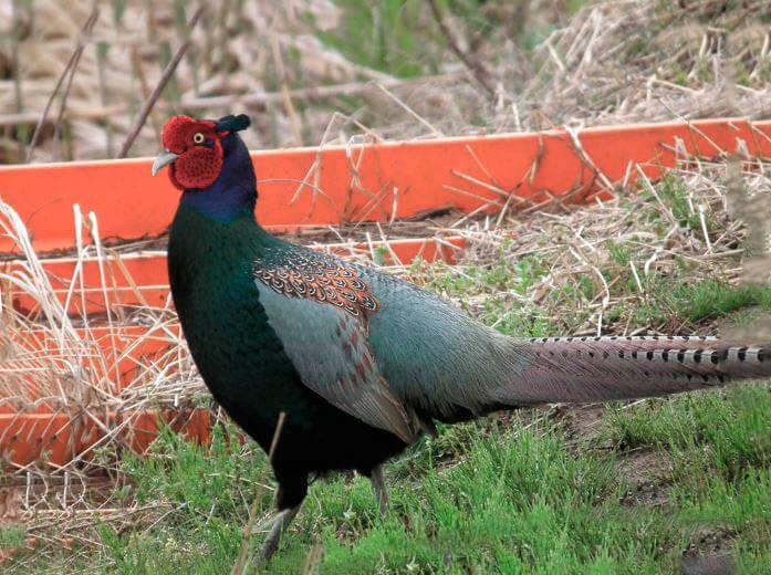 Зеленый фазан фото