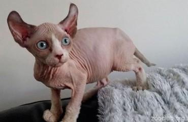 Кошка эльф
