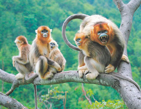 Группа золотых курносых обезьян