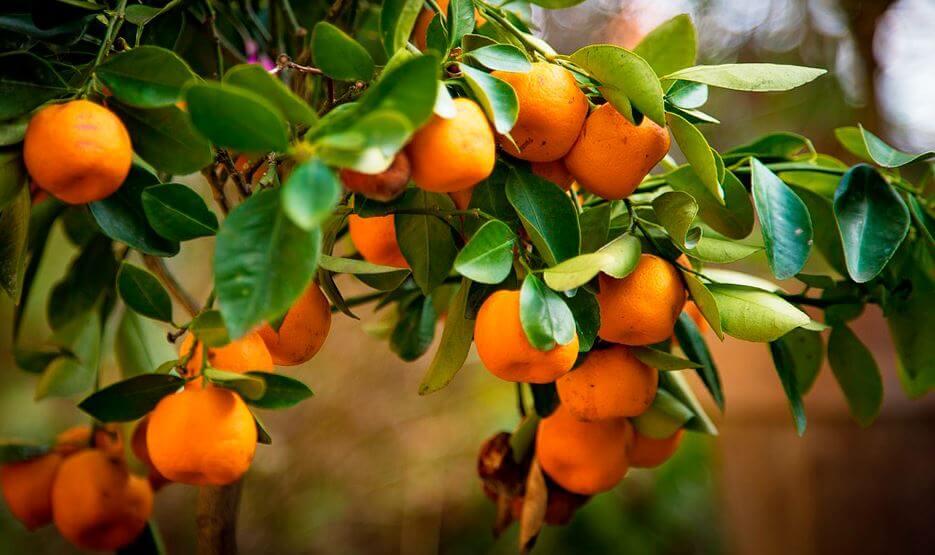 Комнатное апельсиновое дерево
