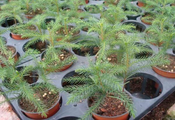 Саженцы Araucaria heterophyla