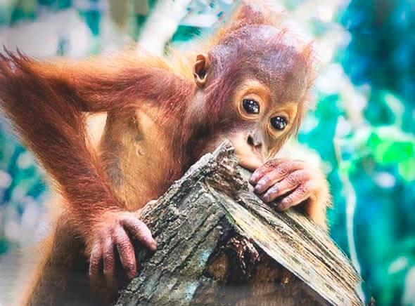 Малыш суматранского орангутана