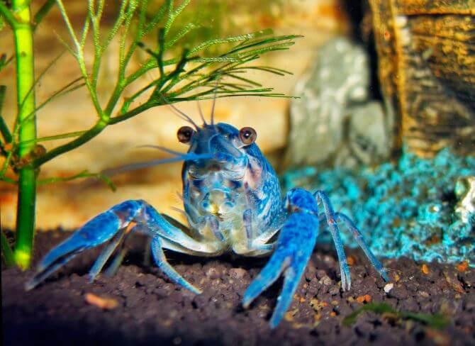 Procambarus alleni в аквариуме