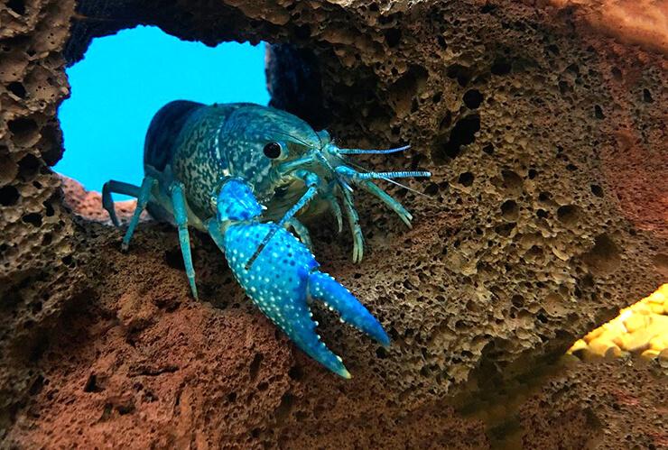 Фото флоридского синего рака