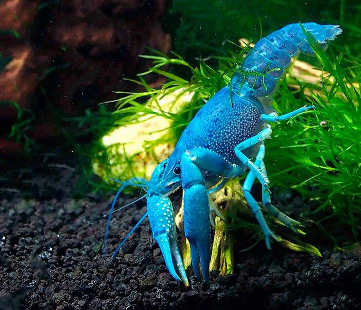 Фото синего флоридского рака